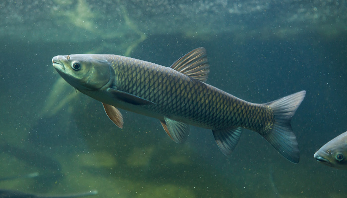Species list arkansas pondstockers for White amur fish